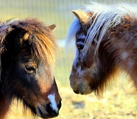 meet our mini horses